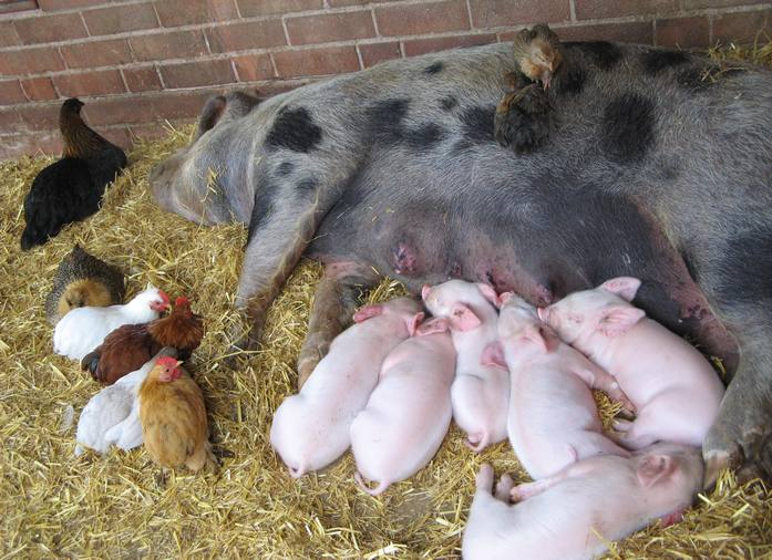 pigs_and_piglets_and_chickens