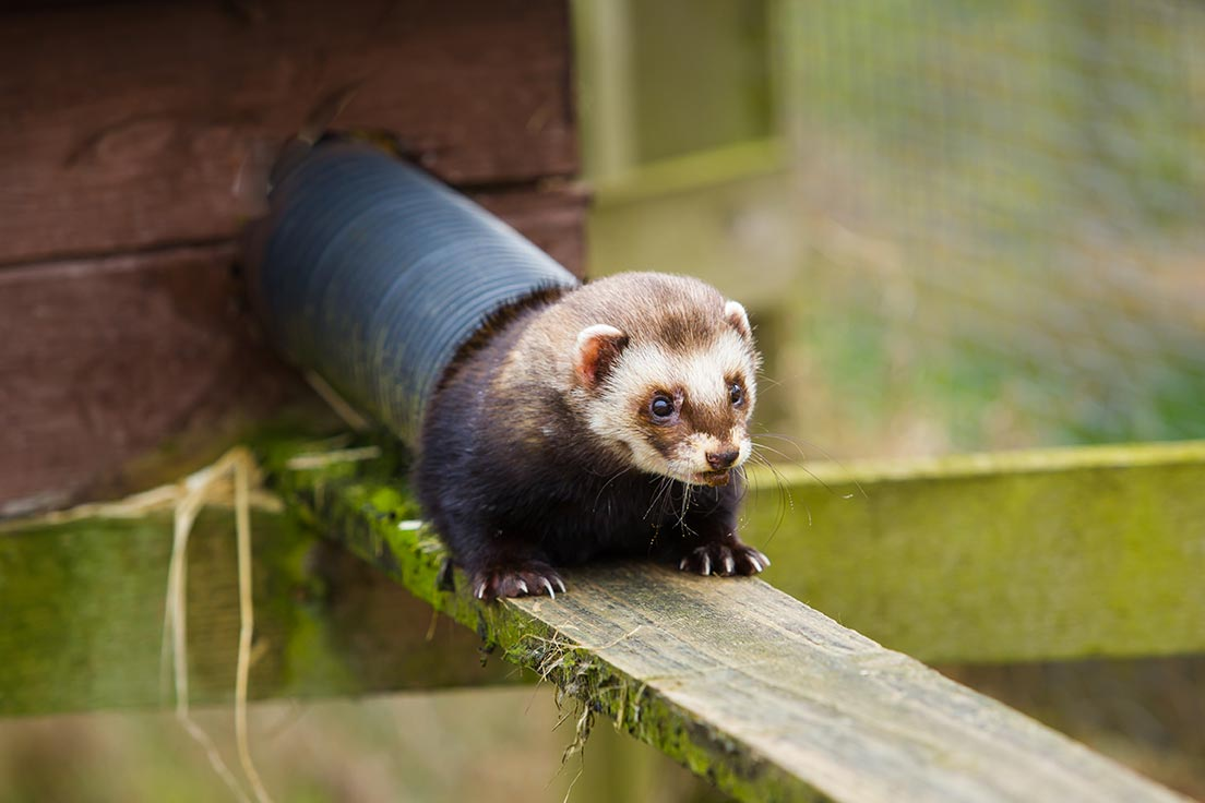 Polecats at Cotebrook Shire Horse Centre