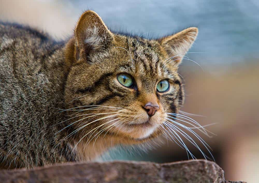 Scottish Wildcat at Cotebrook Shire Horse Centre