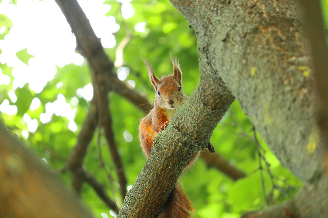 squirrel-4230160_1280